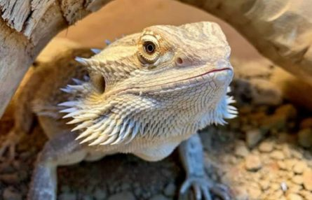 Berwick bearded dragon